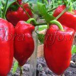 10 правил для получения урожайного перца