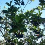 Арония черноплодная рябина – лечебные свойства