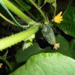 Своевременная подкормка огурцов для урожая