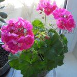 Как сохранить пеларгонию до весны