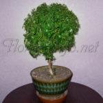 Мирт – растение здоровья и долголетия