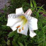 Лилия в открытом грунте. Подкормка и уход