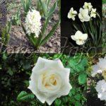 Моноклумбы «белым по белому» (с весны, до осени)