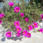 Портулак. Особенности посева и цветения