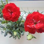 Особенности выращивания китайской гвоздики