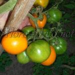 Поможем дозреть томатам