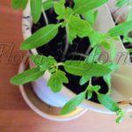 Посев и пикирование томатов