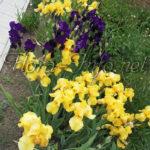 Причины не цветения ирисов