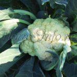 Цветная капуста – посев и секреты выращивания