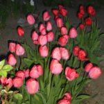 Как и когда сажать тюльпаны