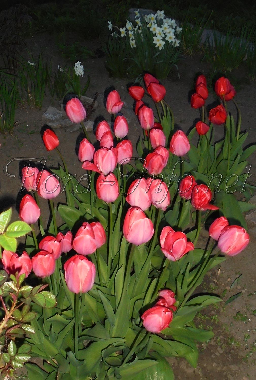 Когда сажать тюльпаны. Особенности посадки тюльпанов