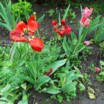 Тюльпаны отцвели, что делать дальше, когда выкапывать, что сажать после