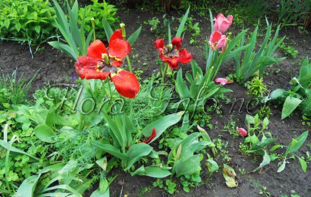 Тюльпаны отцвели что делать дальше