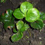 Выращивание клубники на приусадебном участке